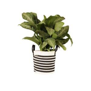 Dumb Cane Dieffenbachia Bush Plant 22 in. to 26 in. Tall in 10 in. Black and White Rope Basket