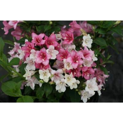 4.5 in. Qt. Czechmark Trilogy (Weigela) Live Shrub, White, Pink, and Red Flowers