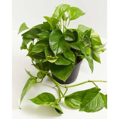 6 in. Golden Pothos (Epipremnum Aureus) Plant in Grower Pot