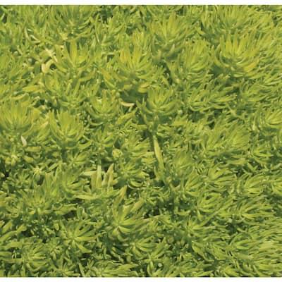 4.25 in. Lemon Coral (Sedum) Live Plant, Green Foliage Grande (4-Pack)