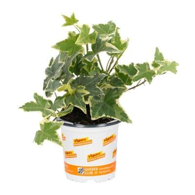 1 Pint Vigoro Variegated Ivy Groundcover Plant