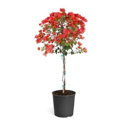 2 Gal. Sundown Orange Bougainvillea Flowering Tree