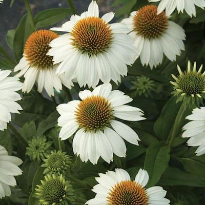 2 Gal. White Coneflower Plant
