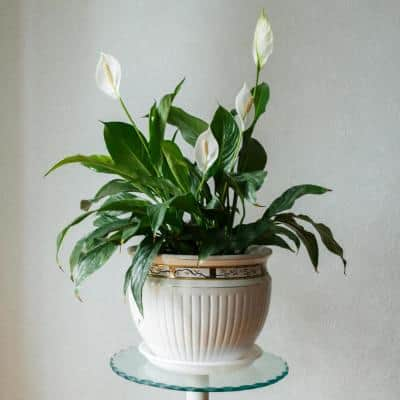 2.5 Qt. Peace Lily Spathiphyllum Plant with White Blooms in Grower Pot