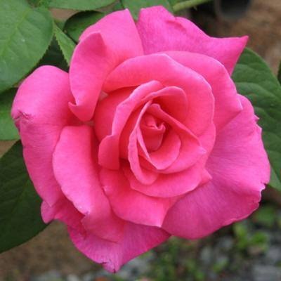 Fragrant Pink Perfume Delight Hybrid Tea Rose Plant