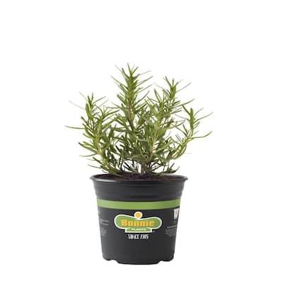 2.32 Qt. Rosemary Arp Premium