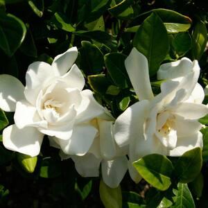 2.5 Qt. Jubilation Gardenia, Live Evergreen Shrub, White Fragrant Blooms