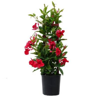 9.25 Grower Pot 28. in. to 30 in. Tall Mandevilla Trellis Sun Parasol Giant Red Live Outdoor Vining Plant