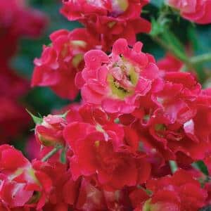 2 Gal. Red Rose - Live Re-Blooming Groundcover Shrub