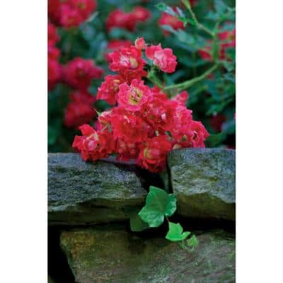 1 Gal. The Red Drift Rose Bush with Red Flowers (2-Plants)