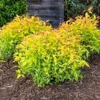 4 in. Pot Goldflame Spirea (Spiraea), Live Deciduous Plant, Red Flowering Shrub with Gold Foliage (1-Pack)