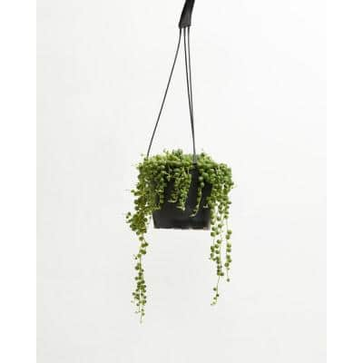 6 in. String Of Pearls Plant (Senecio Rowleyanus) Plant in Grower Pot