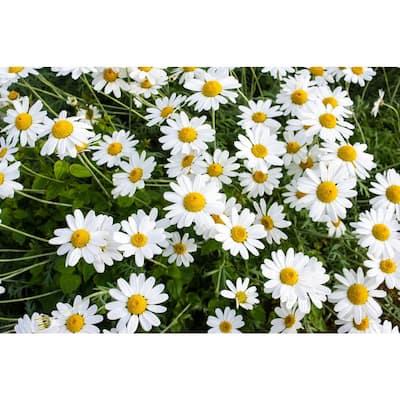 1 Gal. Snowcap Shasta Daisy Shrub With Massive White Flowers and Yellow Centers