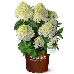 5 Gal. White Wedding Hydrangea Shrub with Pillow-Like White Blooms