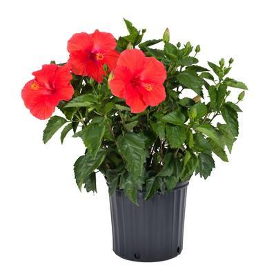 1 GAL Hibiscus Asst Shrubs in Grow Pot