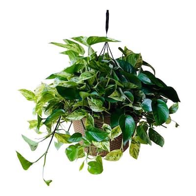 12 in. 2 Gal. Golden Pothos Plant in Hanging Basket
