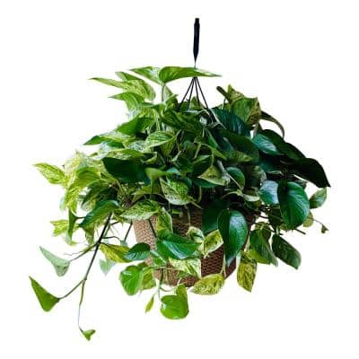 2 Gal. Golden Pothos Plant in 12 In. Hanging Basket