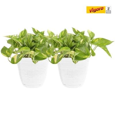 6 in. Golden Pothos White Decor Pot (2-Pack)