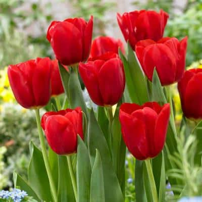 Tulip Red Bulbs (100-Count/Pack)