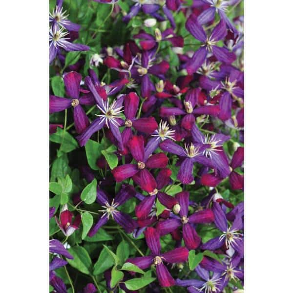 PROVEN WINNERS 1 Gal. Sweet Summer Love (Clematis) Live Shrub, Red-Purple Flowers