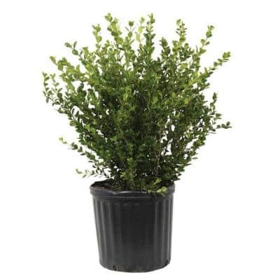 2.5 Gal - Wintergreen Boxwood, Live Shrub Plant, Glossy Dark Green Foliage