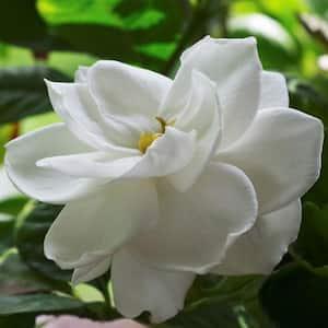 2.5 qt. Gardenia Radicans Flowering Shrub with White Flowers