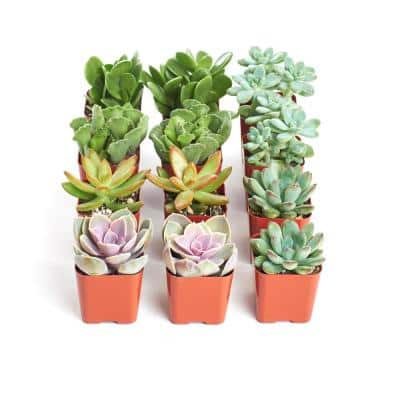 2 in. Assorted Succulent (Collection of 12)
