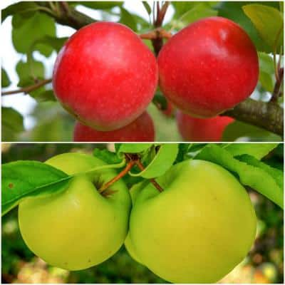 Double Apple Twist Tree Bare Root