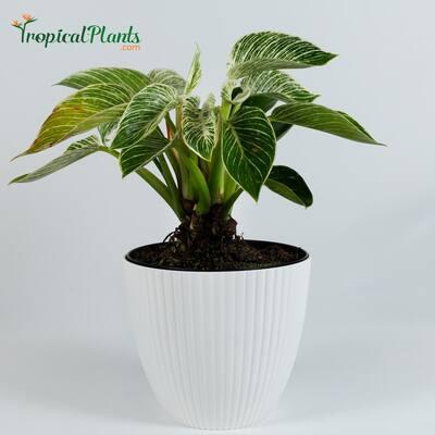 6 in. Birkin Philodendron RARE (Araceae) Live Plant Inside Decorator White Ribbed Pot