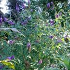 3 Gal. Black Knight Butterfly Bush with Purple Flowers