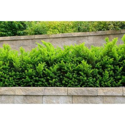 1 Gal. Dense Spreading Yew Shrub this Classic Massive Shrub can Now be Used as a Small Specimen Plant