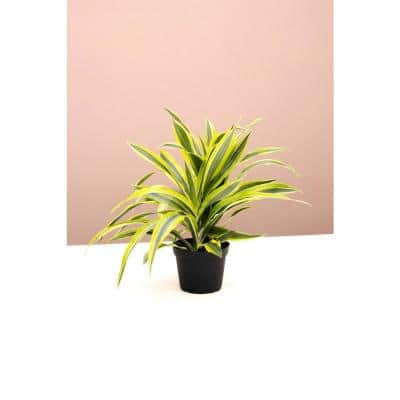 6 in. Dracaena Warneckii Lemon Lime (Dracaena Warneckii) Plant in Grower Pot