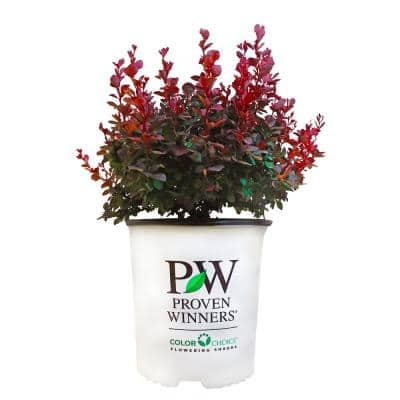 2 Gal. Sunjoy Mini Maroon Barberry Plant with Deep Purple-Red Foliage