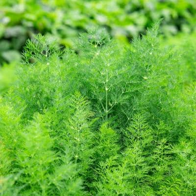 Herb Dill Delight (200 Seed Packet)