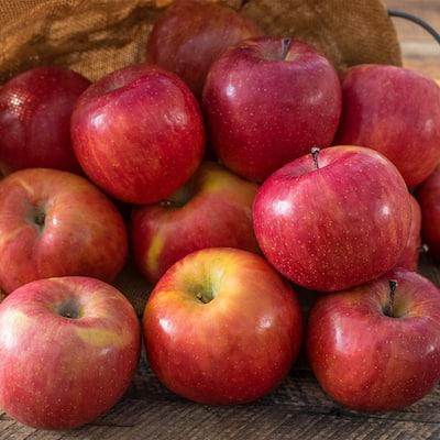 Fuji Apple Malus Live Standard Bareroot Fruit Tree (1-Pack)