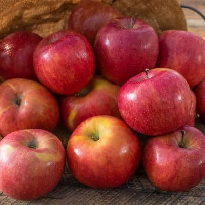 2.50 Quart Fuji Reachable Apple Malus Dwarf Variety Live Fruiting Tree (1-Pack)