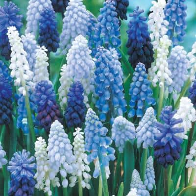 Grape Hyacinth Bulbs Mixture (50-Pack)