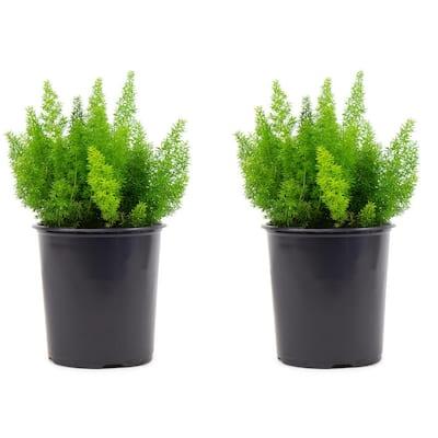 2.5 Qt. Foxtail Fern Plant in 6.33 In. Grower's Pot (2-Plants)