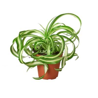 Spider Plant 'Bonnie' (Chlorophytum comosum) Plant in 4 in. Grower Pot