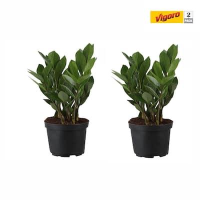 6 in. ZZ Plant in White Decor Pot (2-Pack)