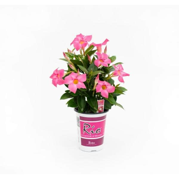 Rio 1 Qt Dipladenia Flowering Annual Shrub With Red Pink White And Raspberry Splash Blooms 1001319338 The Home Depot