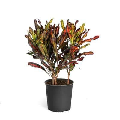 3 Gal. Croton Plant in Pot