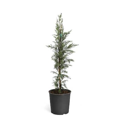 4 ft. to 5 ft. Tall 5 Gal. Italian Cypress Evergreen Tree
