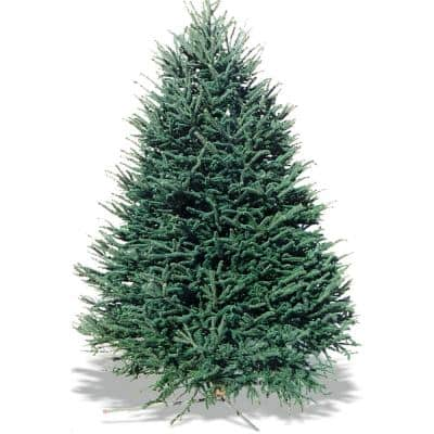 6-7 ft. Freshly Cut Live Abies Balsam Fir Christmas Tree