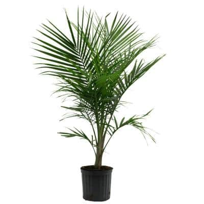 10 in. Majesty Palm Ravenea Plant