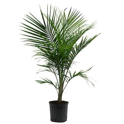 10 in. Majesty Palm Ravenea Plant
