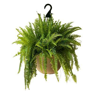 2 Gal. Boston Fern Plant in 12 In. Designer Hanging Basket