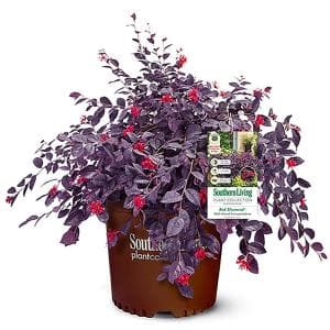 2 Gal. Red Diamond Loropetalum Shrub with Burgundy Foliage and Bright Red Blooms