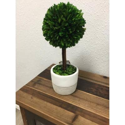 Preserved Boxwood Topiary in Cement Pot