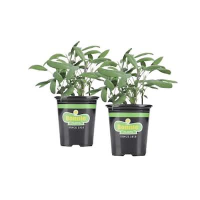 19.3 oz. Garden Sage Plant 2-Pack